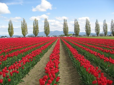 [Tulip+Fields+(10).jpg]