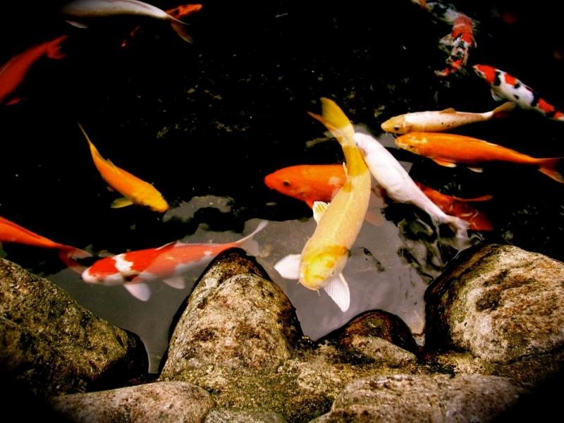 Facts around us koi carp fish colorful koi fish for Koi carp fish information