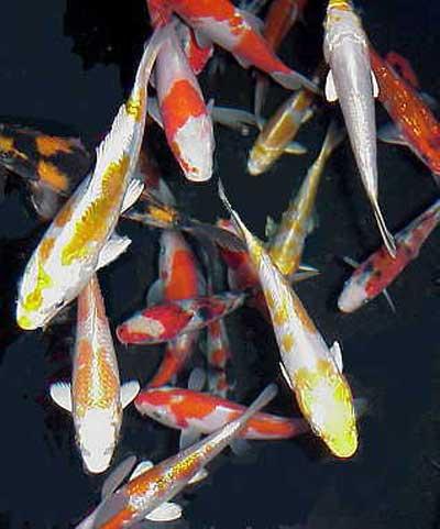Amaze pics vids koi fish or japanese carp for Rare koi colors