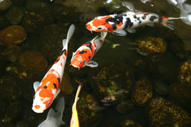 Amaze pics vids koi fish or japanese carp for Pictures of coy fish