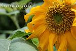Kundasang SunFlower
