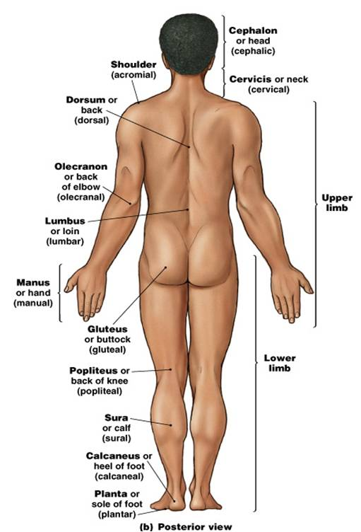 Picture Anatomical Position Human Body http://bio233notes.blogspot.com/2010/08/chapter-1-notes.html