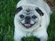 Beloved Stubby, Angel Pug