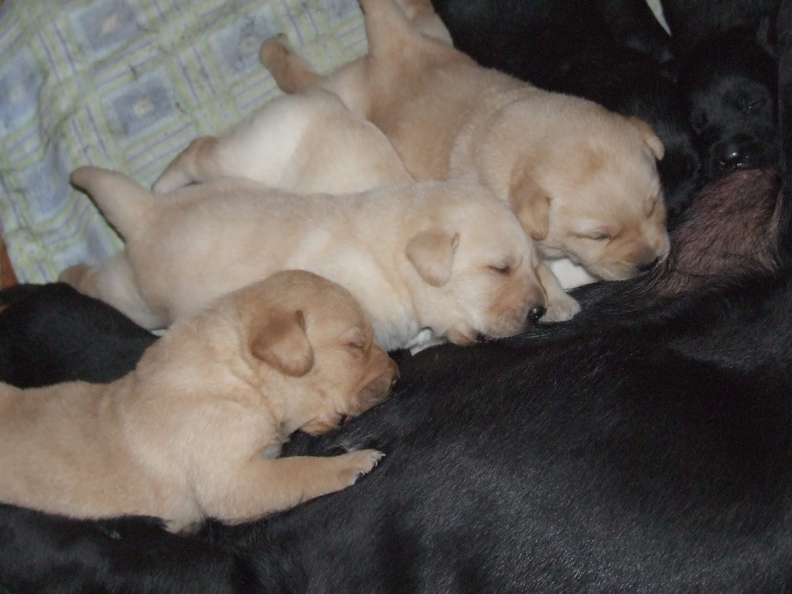 Cuccioli labrador 20 giorni