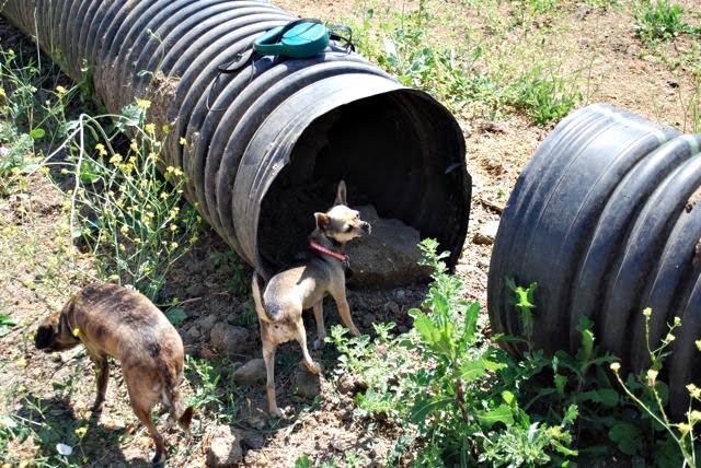 Twinkie Tiny Dog | Teacup Chihuahua | A Dog Blog: Horse Show And ...