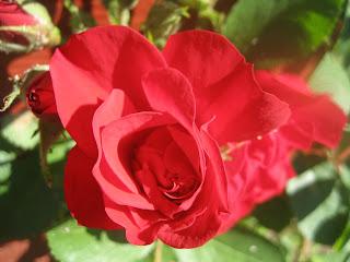 rose som vokser i tjern