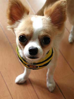http://4.bp.blogspot.com/_l6pnaK20-Uo/S7Nv3LRqMWI/AAAAAAAADZ0/5EhW5CSbZnM/s400/chihuahua11.jpg
