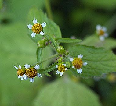 dettaglio del fiore di galinsoga. Foto di Andrea Mangoni
