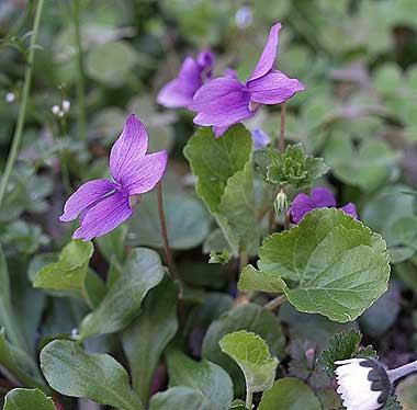 La viola mammola più pallida. Foto di Andrea Mangoni.