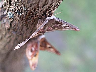 Coppia di Saturnia pavoniella (Saturnia pavoniella pair). Foto di Andrea Mangoni.