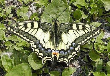 Un macaone (Papilio machaon) si riposa sull'erba. Foto di Andrea Mangoni