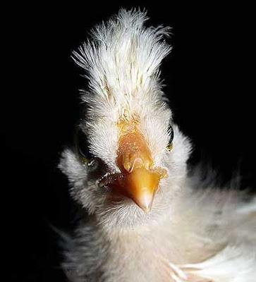 Gallo o gallinella? Mistero! Foto di Andrea Mangoni.