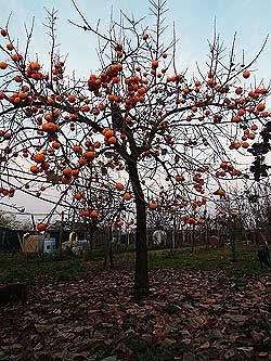 Un albero di cachi. Foto di Andrea Mangoni.