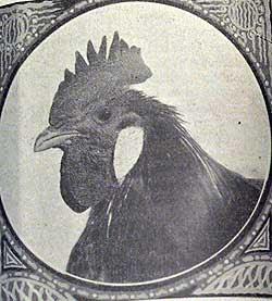 Padovana Gigante, testa di un galletto di 100 giorni, 1934.