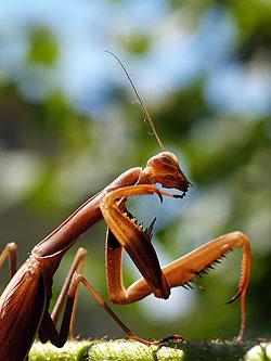 Femmina bruna di Mantis religiosa mentre fa toeletta. Foto di Andrea Mangoni.