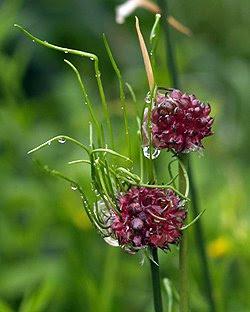 Allium vineale o aglio delle vigne. Foto di Andrea Mangoni.