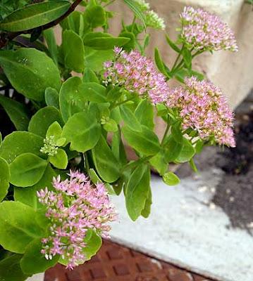 Alcune piante di Sedum spectabile in piena fioritura. Foto di Andrea Mangoni.