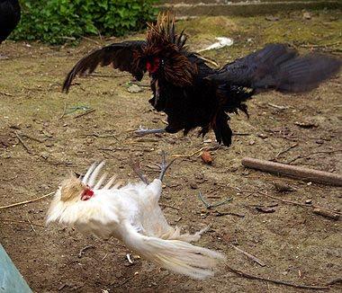 Due galli combattono per il possesso dell'harem. Foto di Andrea Mangoni.