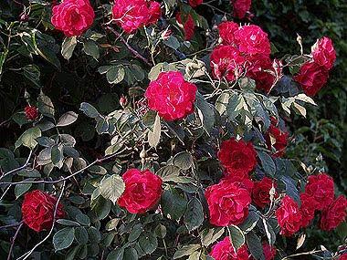 La rosa rampicante della foto precedente. Si tratta probabilmente di una varietà dell'ottocento, la Gloire des Rosomanes. Foto di Andrea Mangoni.