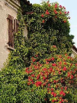 Una casa abbandonata avvolta da un viluppo di edera e rose vecchie rampicanti. Foto di Andrea Mangoni.