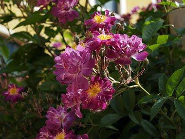 La veilchenblau in fiore. Foto di Andrea Mangoni.