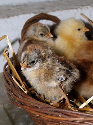Un pulcino nato in una stagione sfavorevole dell'anno: ce la farà? Foto di Andrea Mangoni.