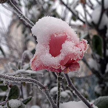 Bocciolo di rosa Queen Elizabeth sotto la neve. Foto di Andrea Mangoni.
