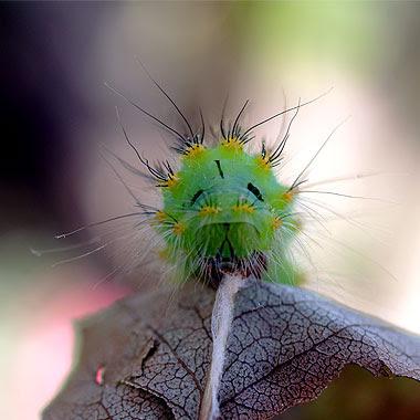 Bruco di Saturnia pavoniella. Foto di Andrea Mangoni.