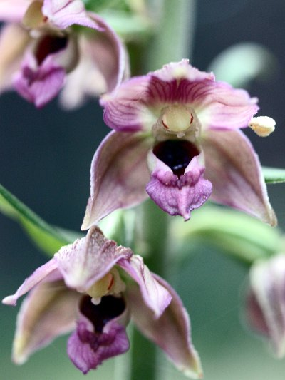 Epipactis helleborine, un'orchidea spontanea. Foto di Andrea Mangoni.