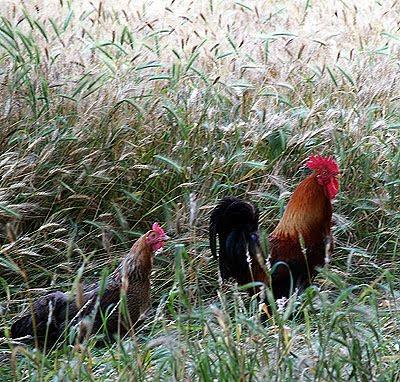 Alcuni polli scorrazzano in un campo di grano. Foto di Andrea Mangoni.