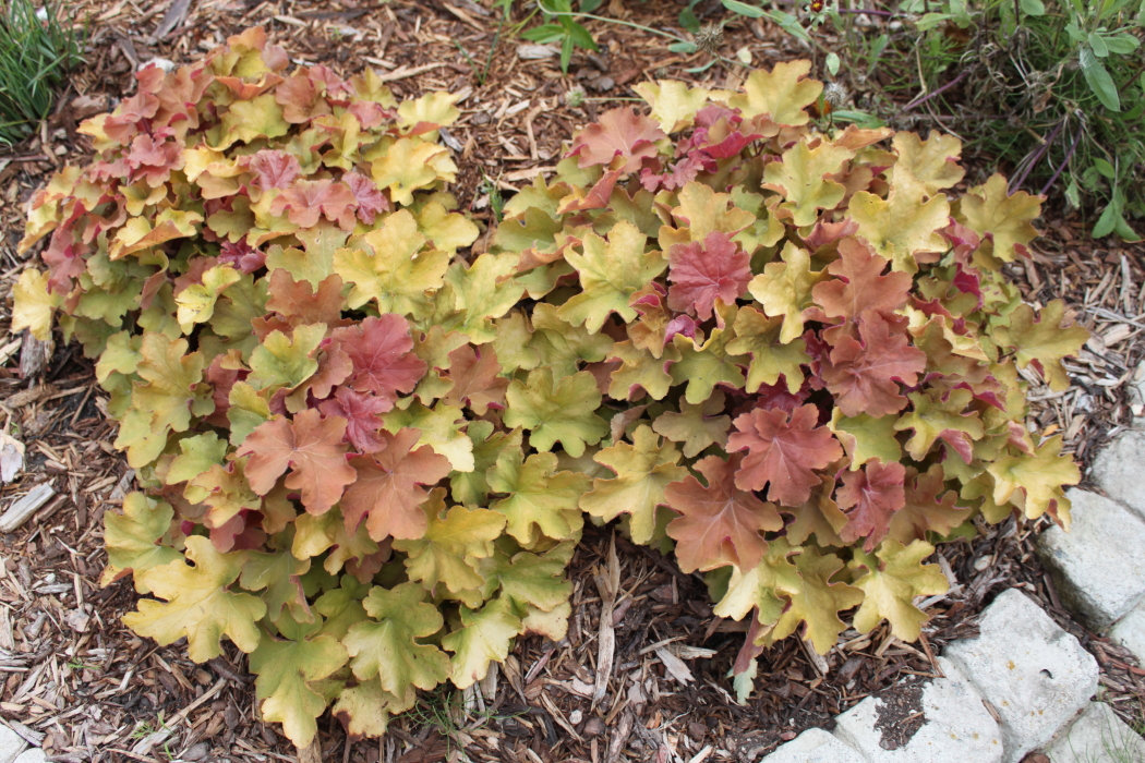 Confessions Of A Plant Geek: Heuchera With Yellow and ...