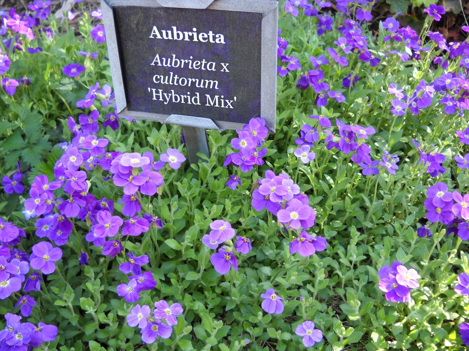 horticulture gardens today aubrieta. Black Bedroom Furniture Sets. Home Design Ideas
