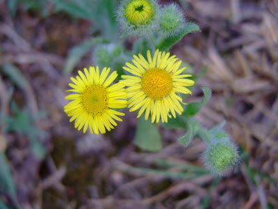 Yellow Fleabane Flower