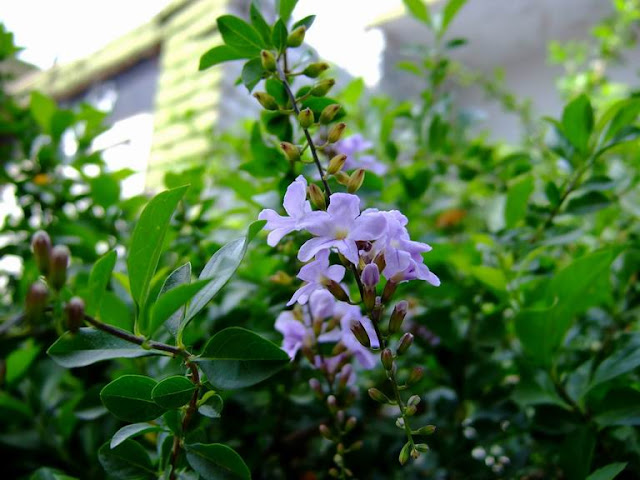 Duranta Flowers