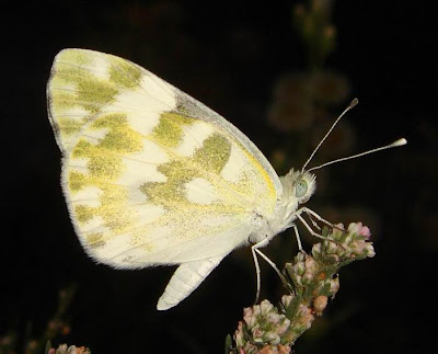 Bath white butterfly picture