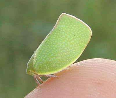 Green planthopper picture