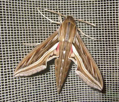 Silver-striped Hawk Moth Pictures