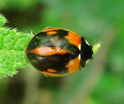 Hybrid Ladybug Picture