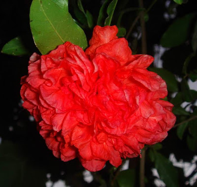 pomegranate flower picture