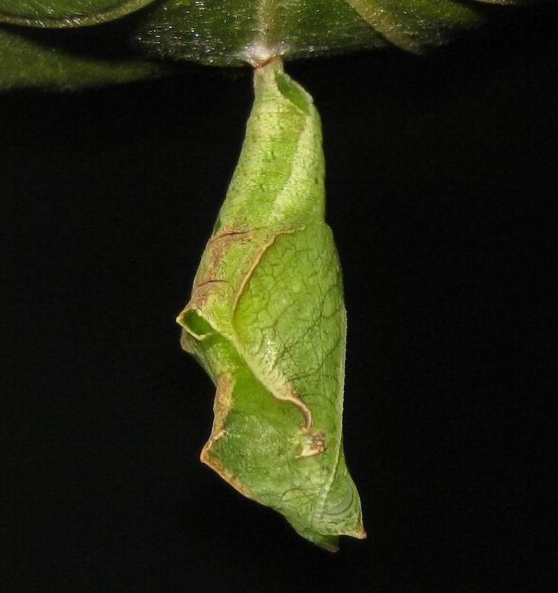 Butterfly Chrysalis Identification Butterfly pupa-chrysalis