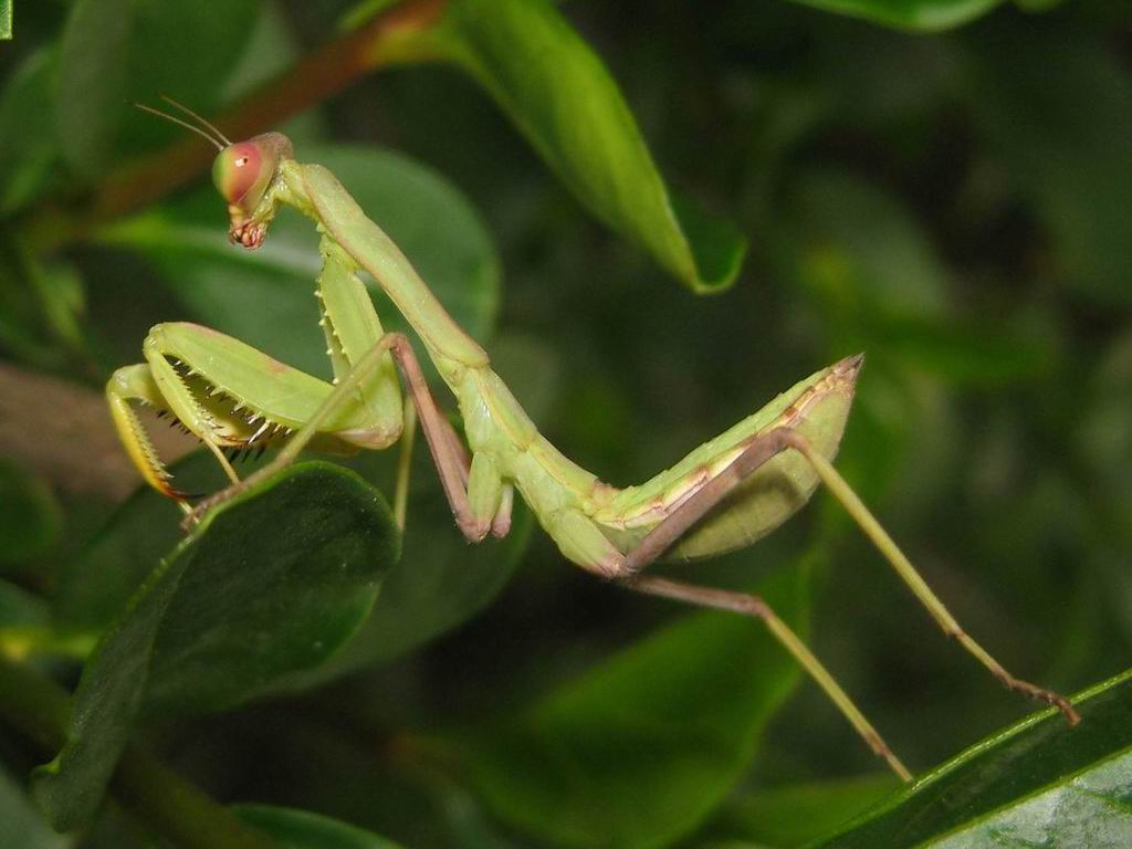 the praying mantis The praying mantis belongs to the genus mantis it is a typical hummingbird killer animals of this much size are usually killed by other predators but praying mantis is itself a potential predator over the years they have.