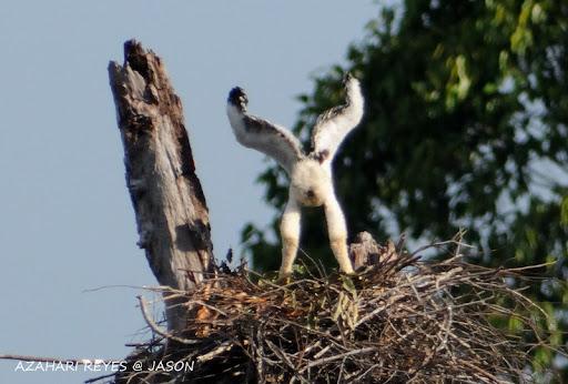 เหยี่ยวดำท้องขาว Blyth's Hawk Eagle   JAY_9031+Blyth's+Hawk+Eagle