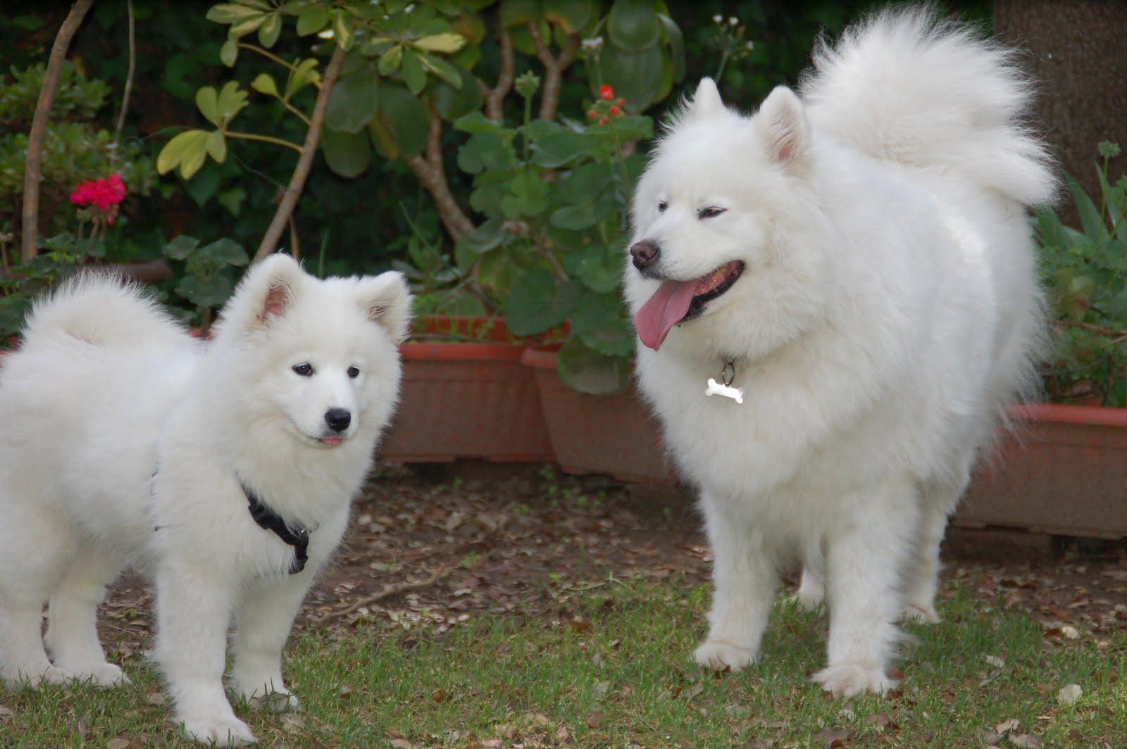 Kana y Gora, nuestras samoyedas