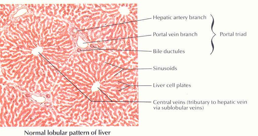 Pedi Cardiology Anatomy Hepatic Veins