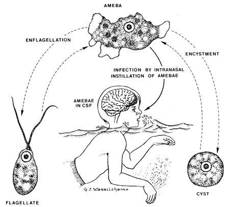 Las Amebas moreover Describe Structure Chloroplast further 1601936list besides 46759 besides 3919. on spirogyra diagram