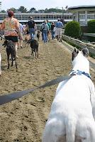 Blue the greyhound back on Raynham race track