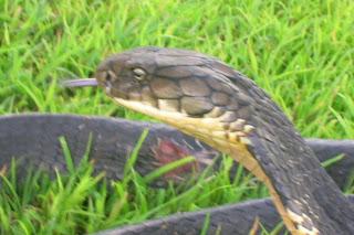 snake taravancore wolf snake banded kukri snake streake