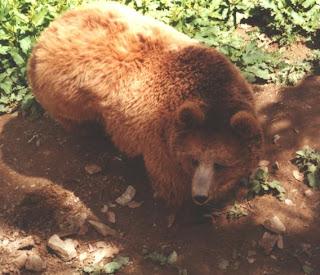 VANISHING SPECIES II: Vanishing Species - The Himalayan ... Himalayan Brown Bear Yeti