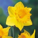 bunga kelopak kuning