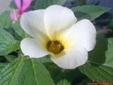 bunga kelopak putih